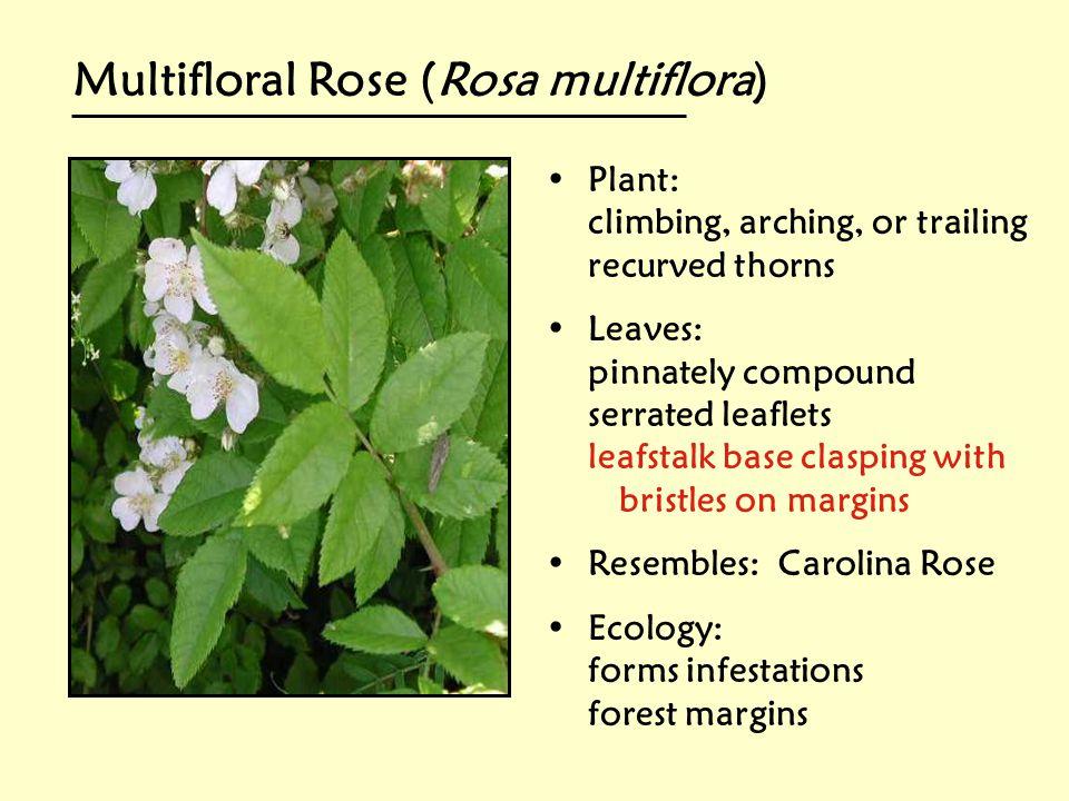 Multifloral Rose (Rosa multiflora)