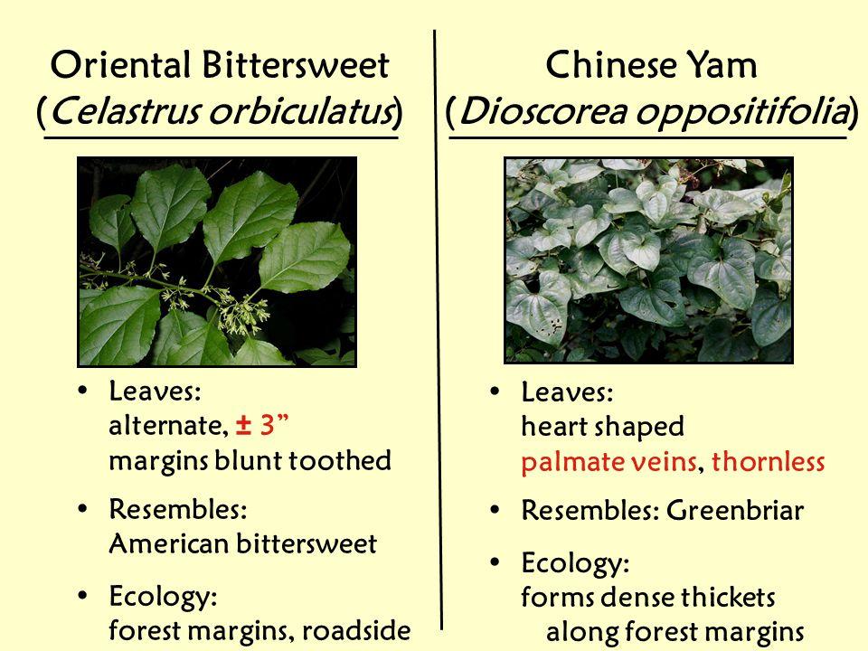 (Celastrus orbiculatus) (Dioscorea oppositifolia)