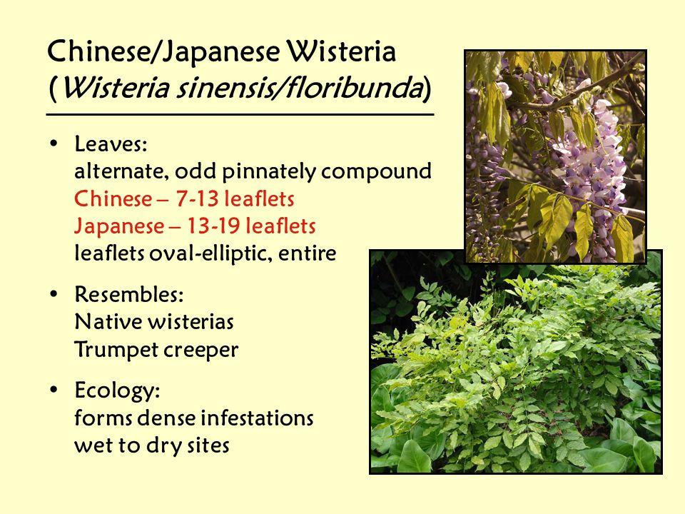 Chinese/Japanese Wisteria (Wisteria sinensis/floribunda)