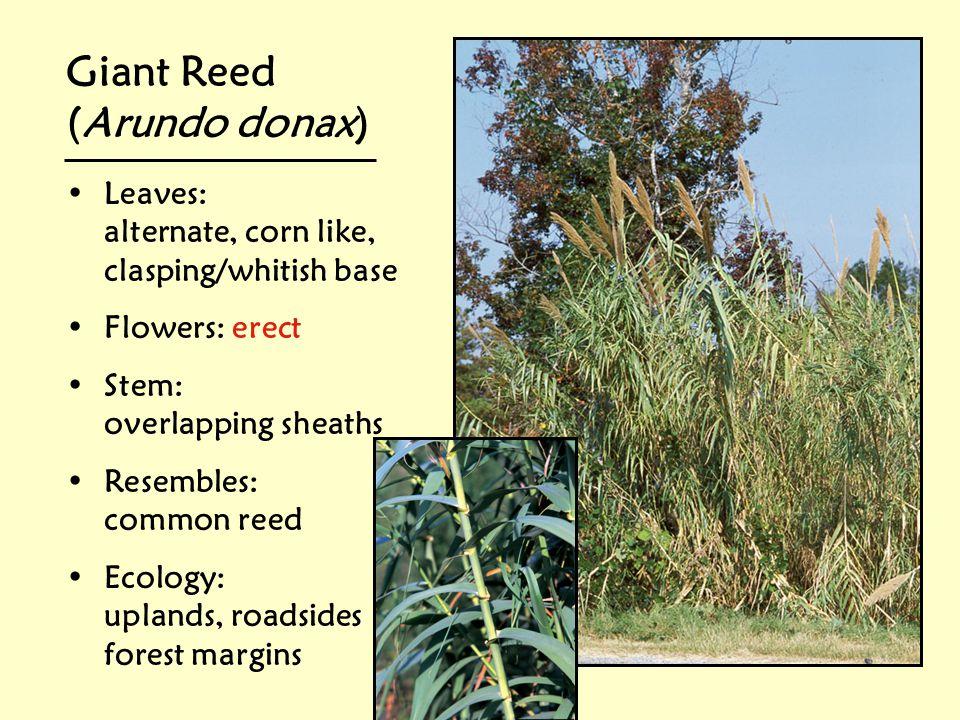 Giant Reed (Arundo donax) Leaves: alternate, corn like,