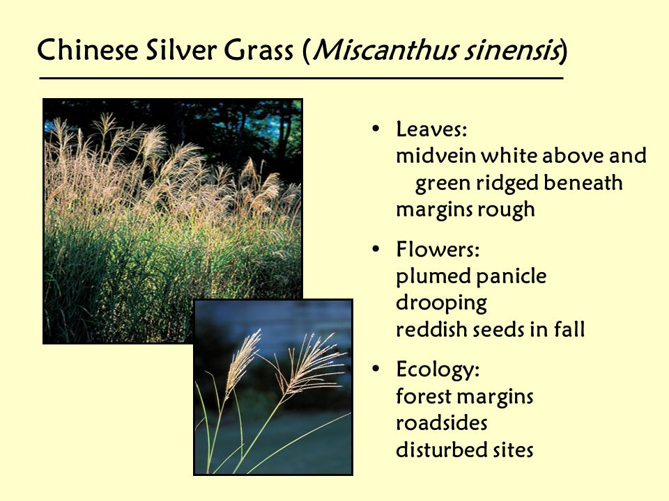 Chinese Silver Grass (Miscanthus sinensis)
