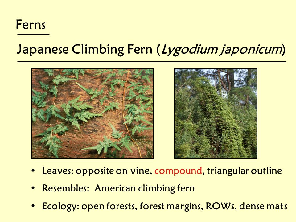 Japanese Climbing Fern (Lygodium japonicum)