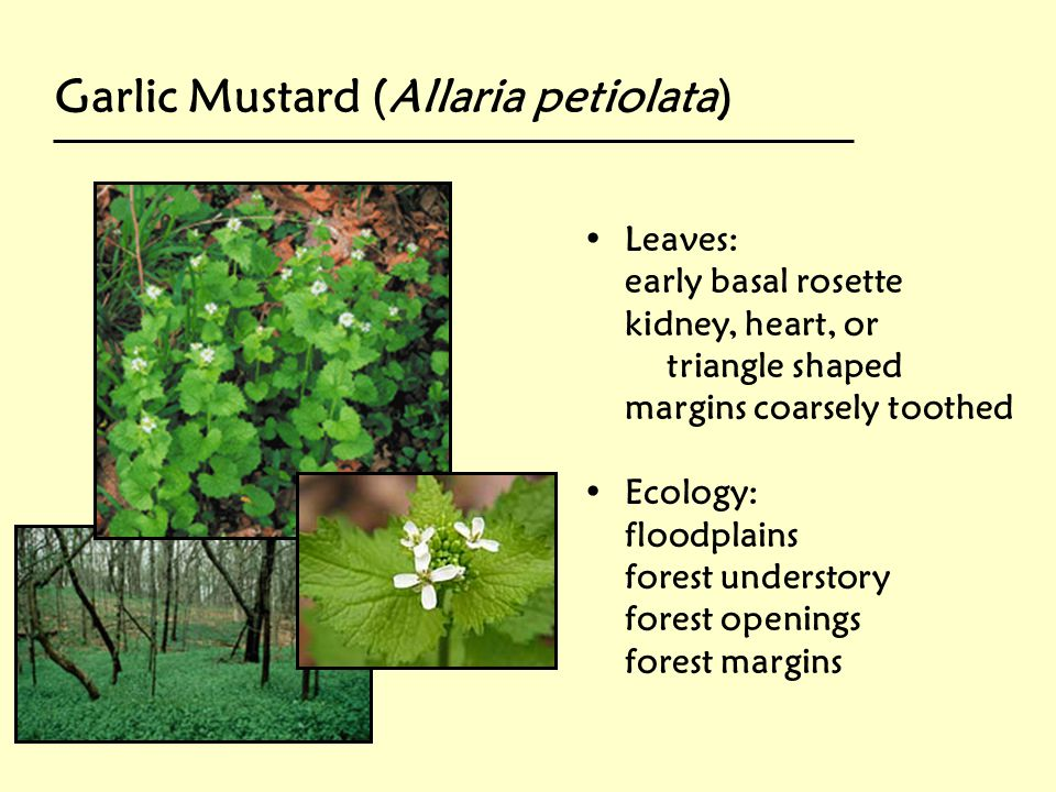 Garlic Mustard (Allaria petiolata)