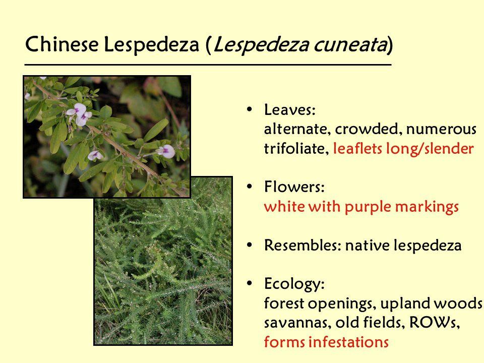 Chinese Lespedeza (Lespedeza cuneata)