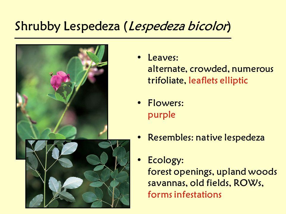 Shrubby Lespedeza (Lespedeza bicolor)