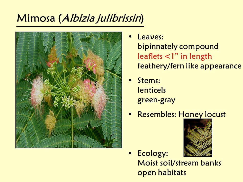 Mimosa (Albizia julibrissin)