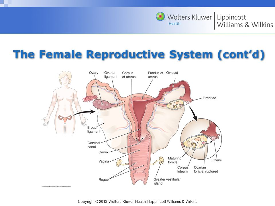 The Female Reproductive System (cont'd)