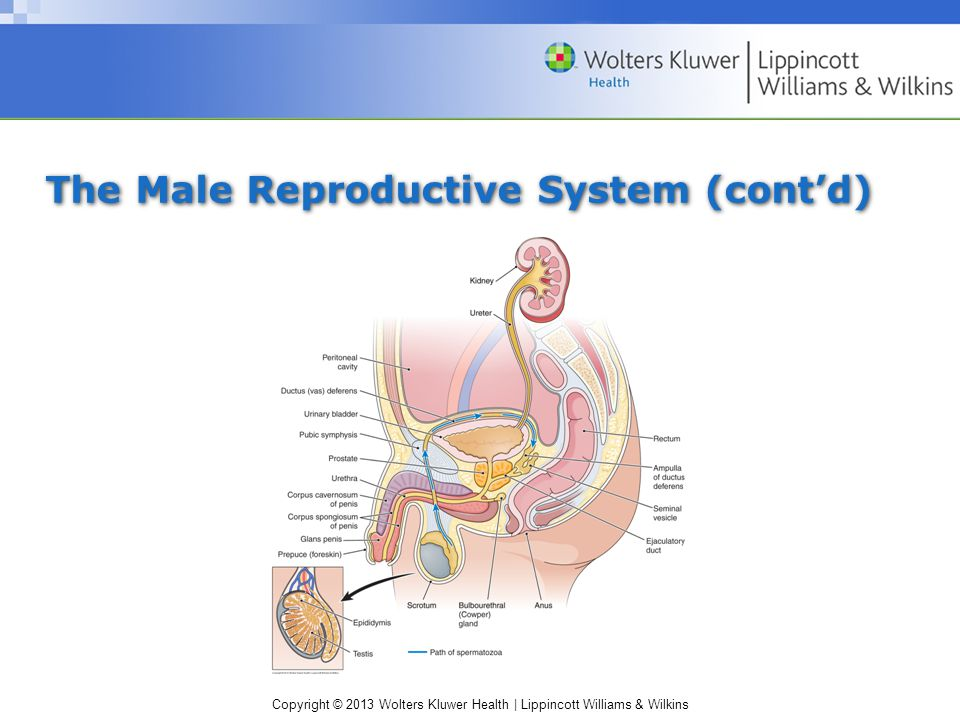 The Male Reproductive System (cont'd)