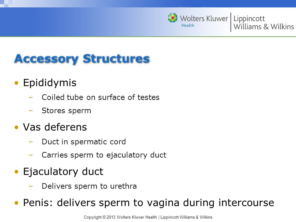 Accessory Structures Epididymis Vas deferens Ejaculatory duct