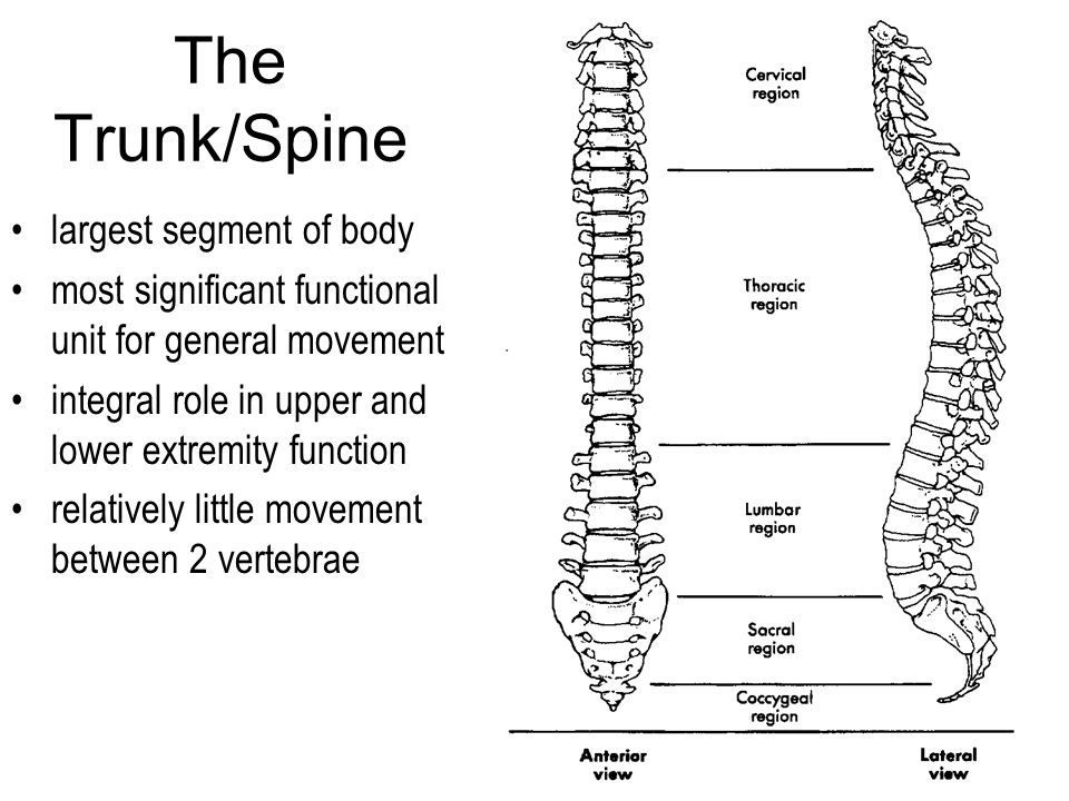 The Trunk/Spine largest segment of body