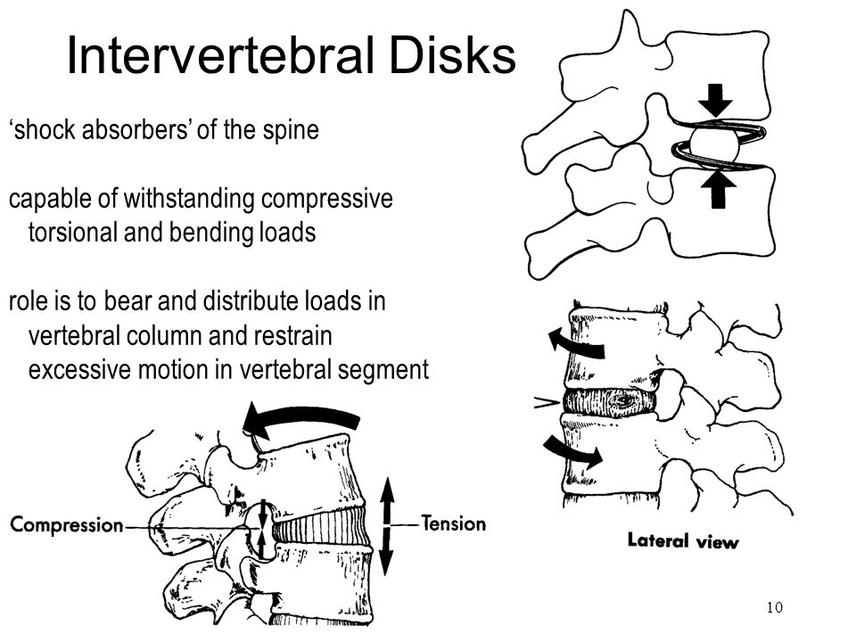 Intervertebral Disks 'shock absorbers' of the spine