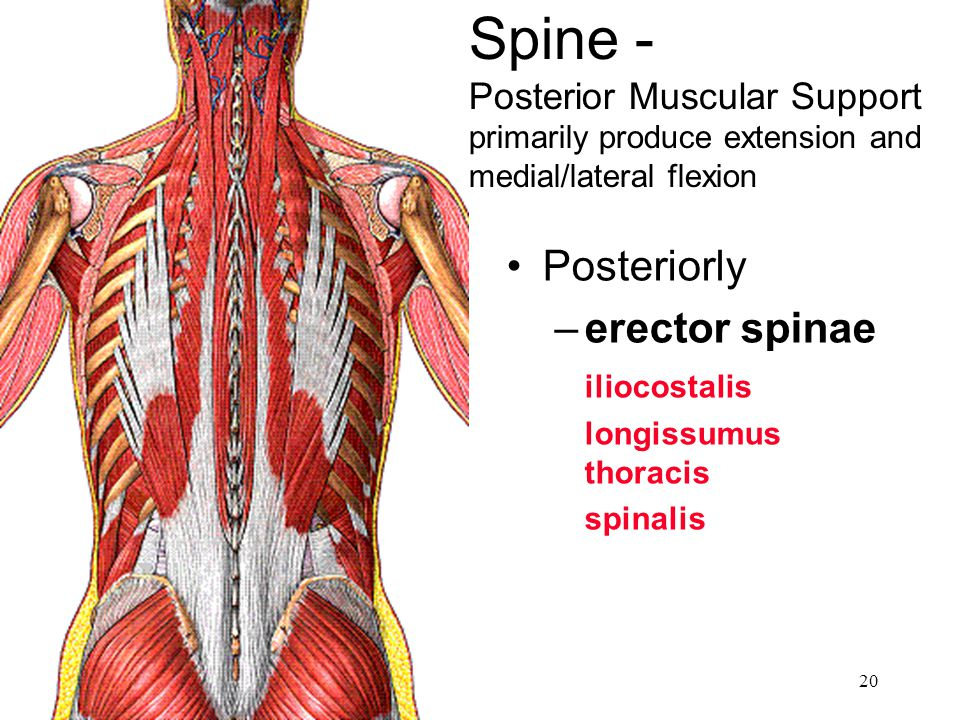 Spine - Posterior Muscular Support primarily produce extension and medial/lateral flexion