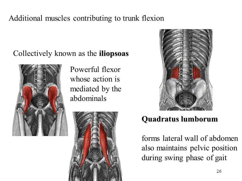 Additional muscles contributing to trunk flexion