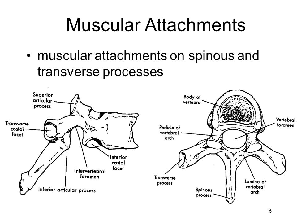 Muscular Attachments muscular attachments on spinous and transverse processes Spine