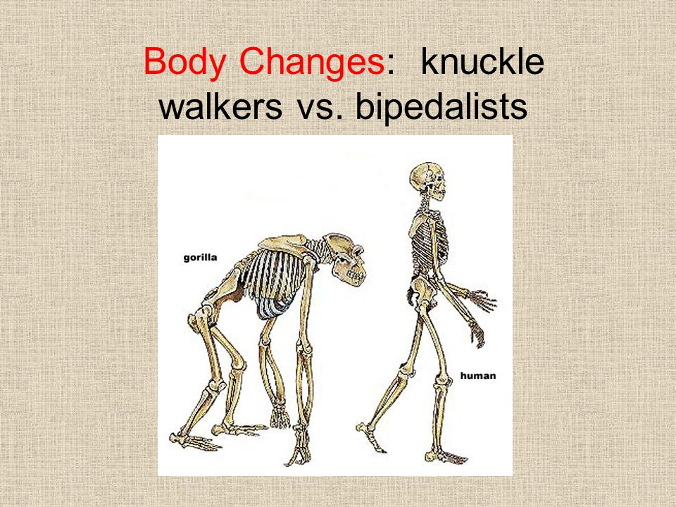 Body Changes: knuckle walkers vs. bipedalists