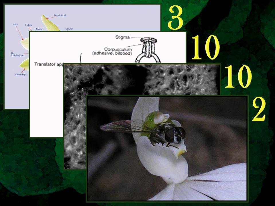 Flower: 3 Pollinarium: 10 Pollen (micro): 10 Pollination: 2