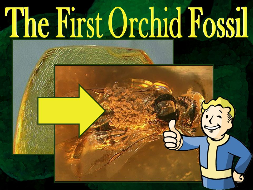 The First Orchid Fossil