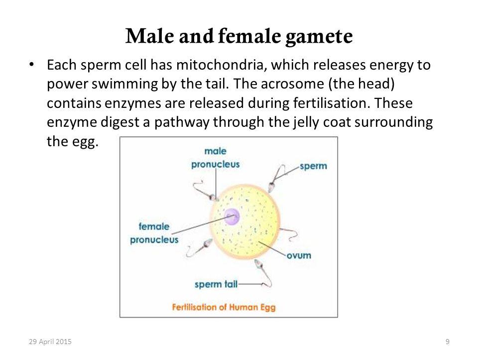 Male and female gamete