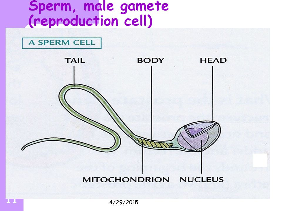 Sperm, male gamete (reproduction cell)