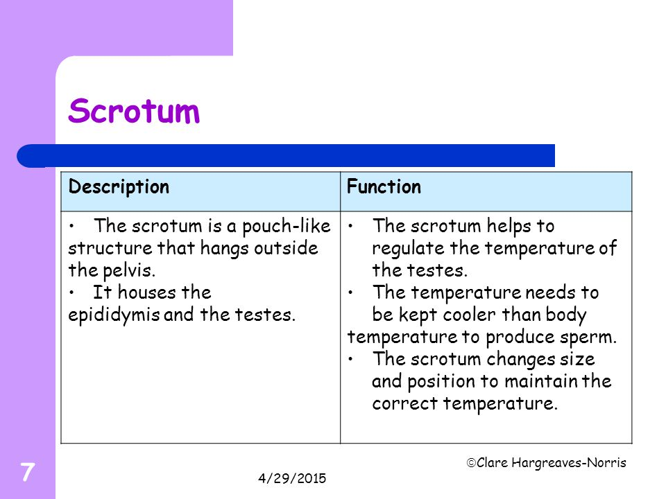 Scrotum Description Function The scrotum is a pouch-like