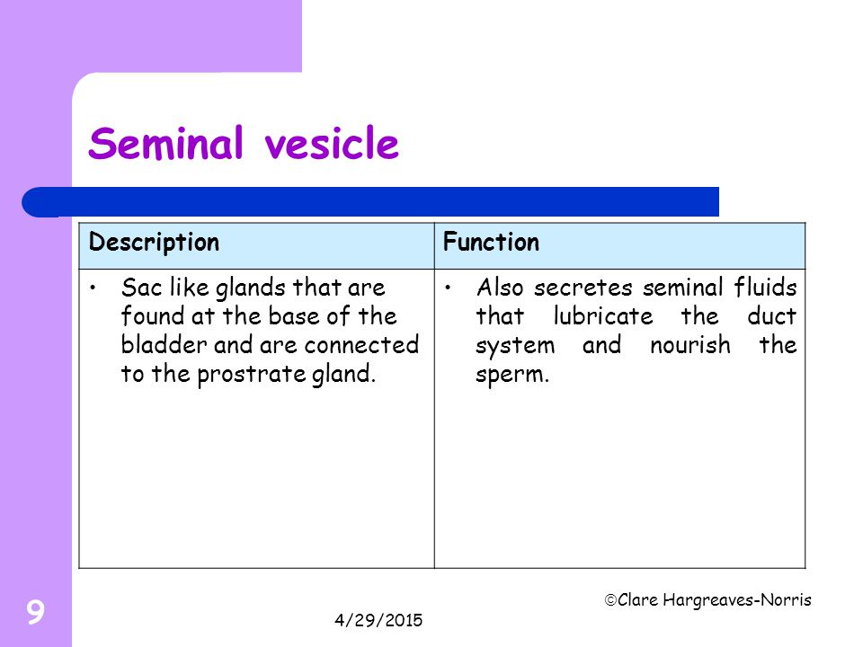 Seminal vesicle Description Function