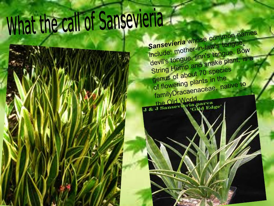 What the call of Sansevieria
