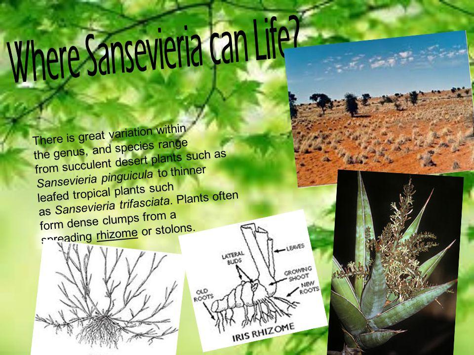 Where Sansevieria can Life