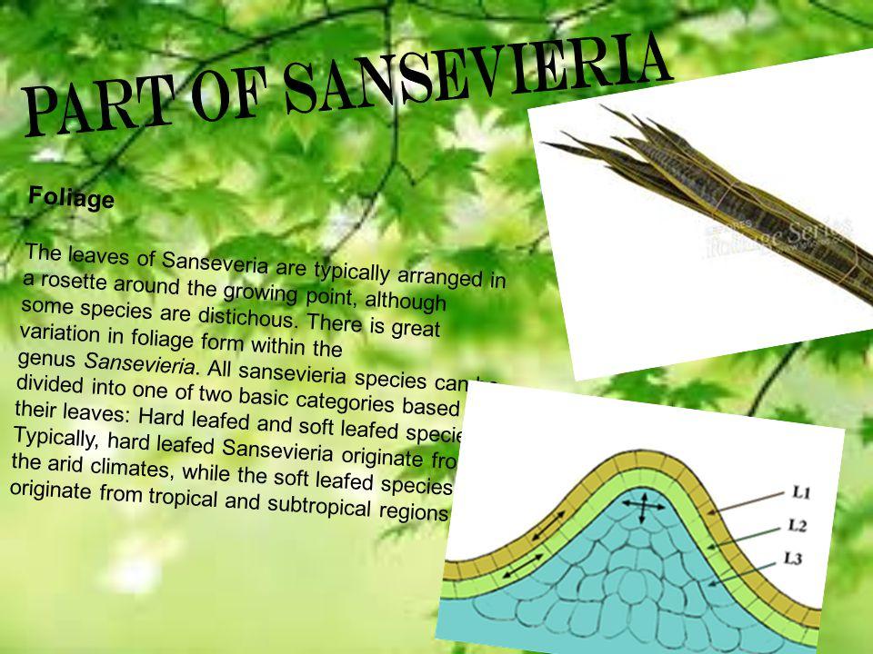 Part of Sansevieria Foliage