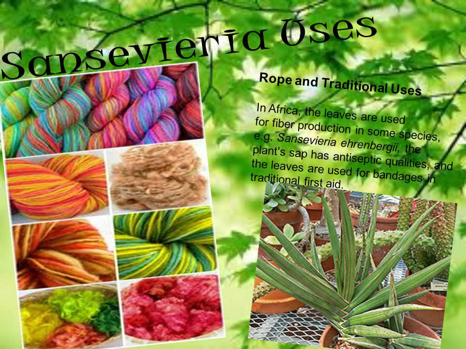 Sansevieria Uses Rope and Traditional Uses