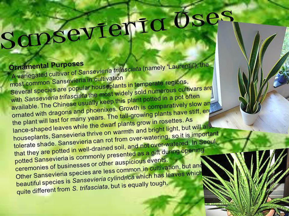 Sansevieria Uses Ornamental Purposes