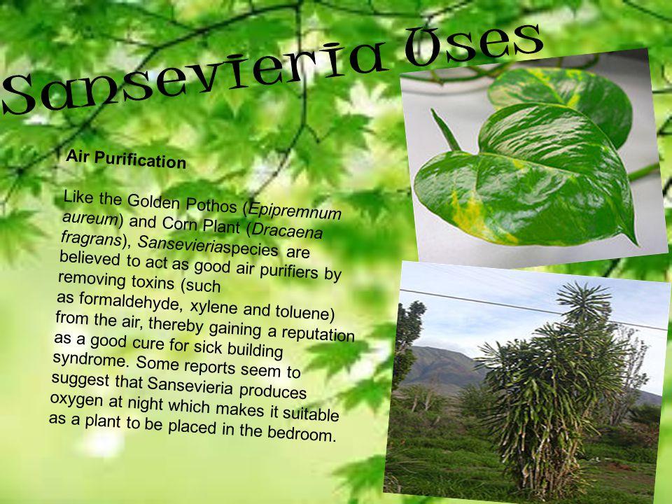 Sansevieria Uses Air Purification