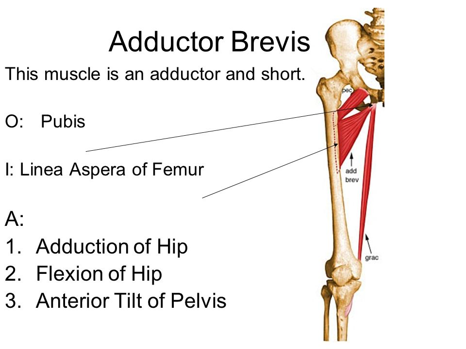 Adductor Brevis A: Adduction of Hip Flexion of Hip