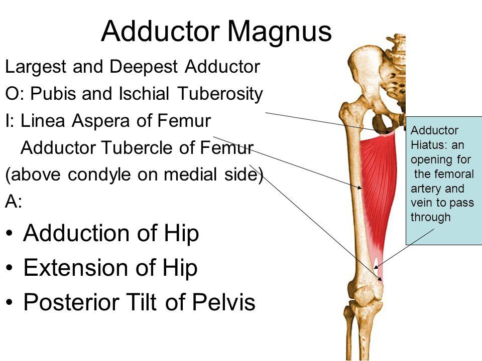 Adductor Magnus Adduction of Hip Extension of Hip