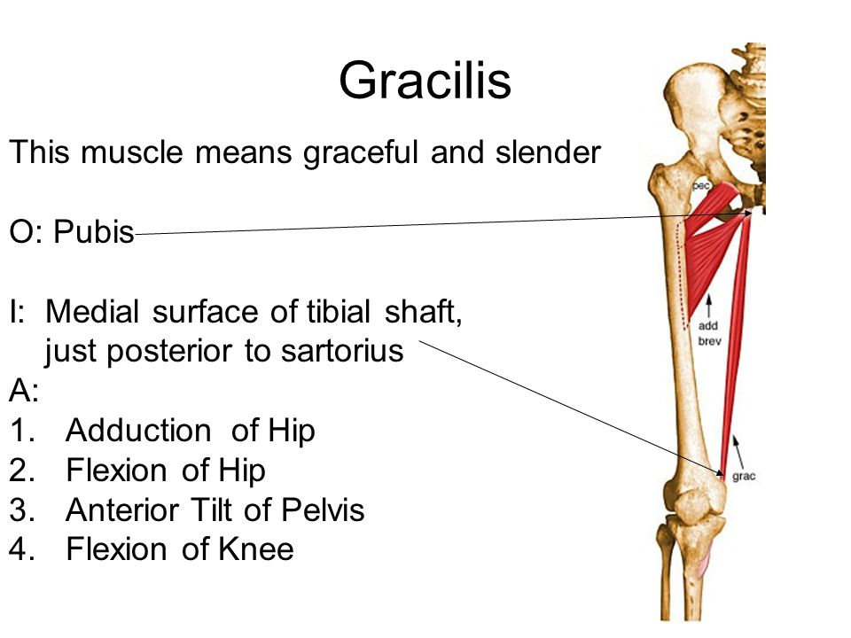 Gracilis This muscle means graceful and slender O: Pubis