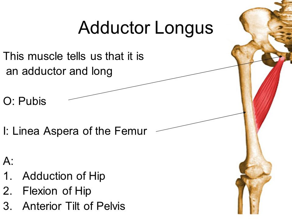 Adductor Longus This muscle tells us that it is an adductor and long