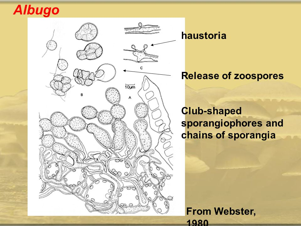 Albugo haustoria Release of zoospores