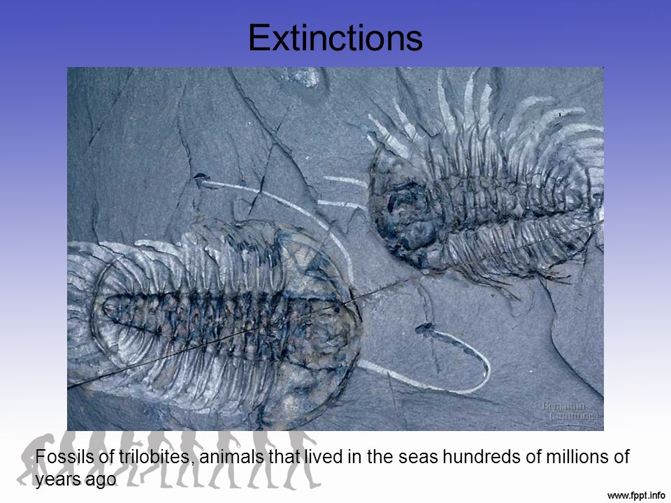 Extinctions Fossils of trilobites, animals that lived in the seas hundreds of millions of years ago