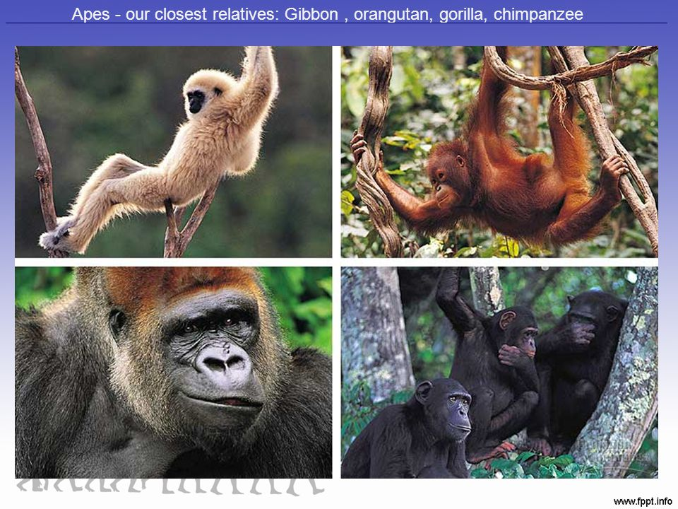 Apes - our closest relatives: Gibbon , orangutan, gorilla, chimpanzee
