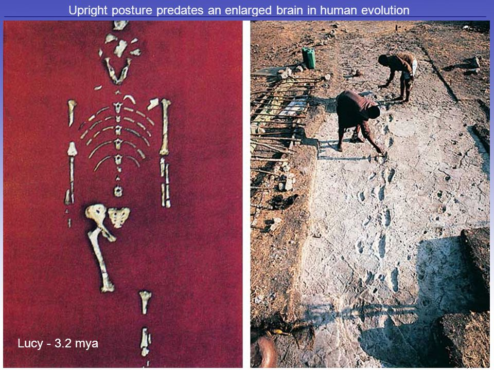 Upright posture predates an enlarged brain in human evolution