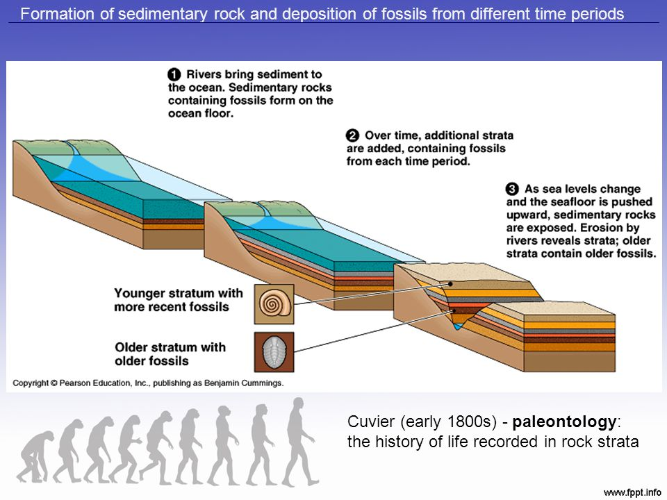 Formation of sedimentary rock and deposition of fossils from different time periods
