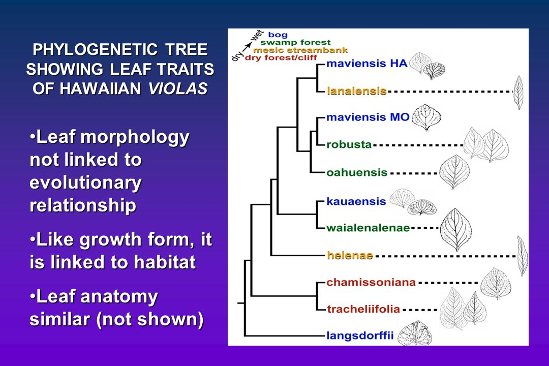 PHYLOGENETIC TREE SHOWING LEAF TRAITS OF HAWAIIAN VIOLAS