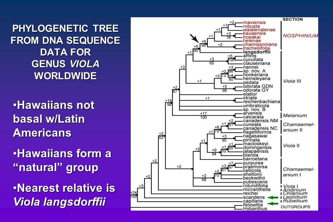 PHYLOGENETIC TREE FROM DNA SEQUENCE DATA FOR GENUS VIOLA WORLDWIDE