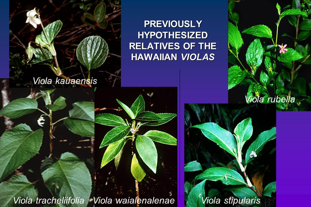 PREVIOUSLY HYPOTHESIZED RELATIVES OF THE HAWAIIAN VIOLAS
