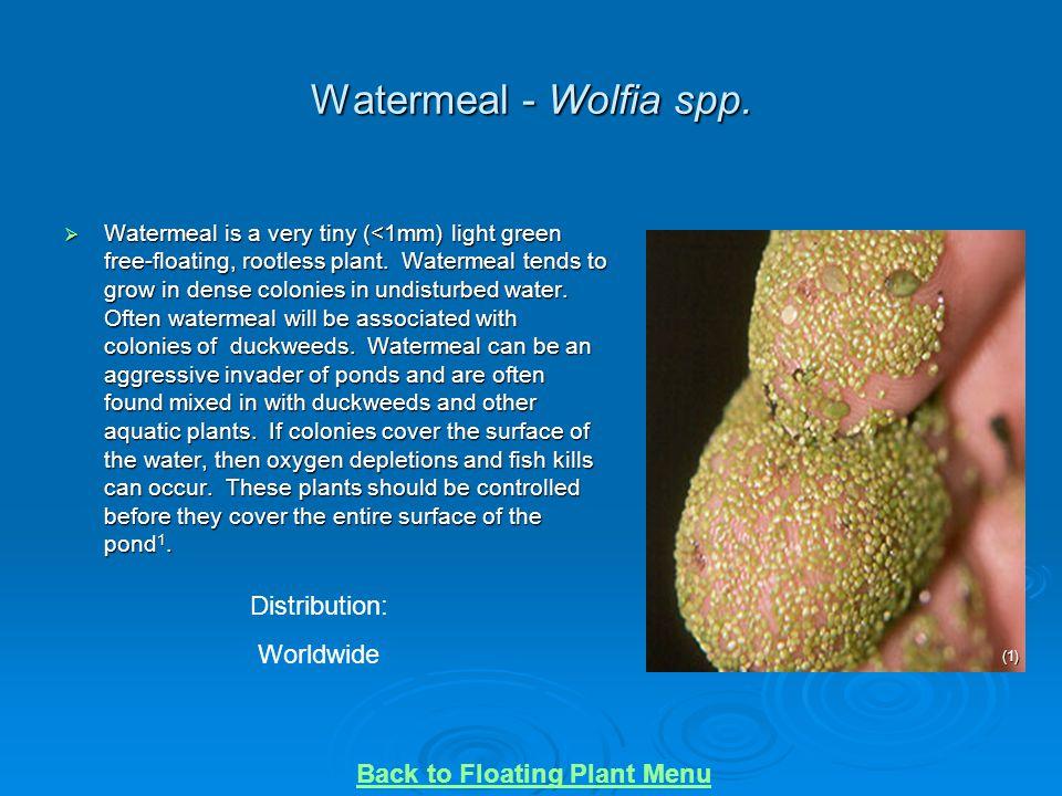 Watermeal - Wolfia spp. Distribution: Worldwide