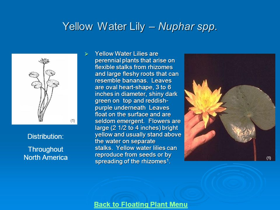 Yellow Water Lily – Nuphar spp.