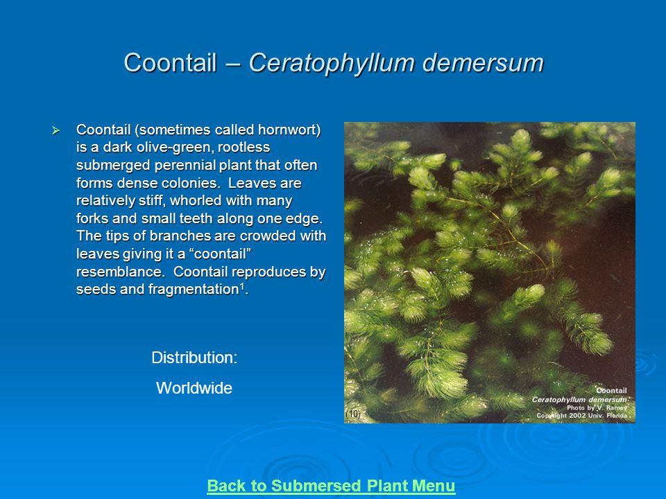 Coontail – Ceratophyllum demersum
