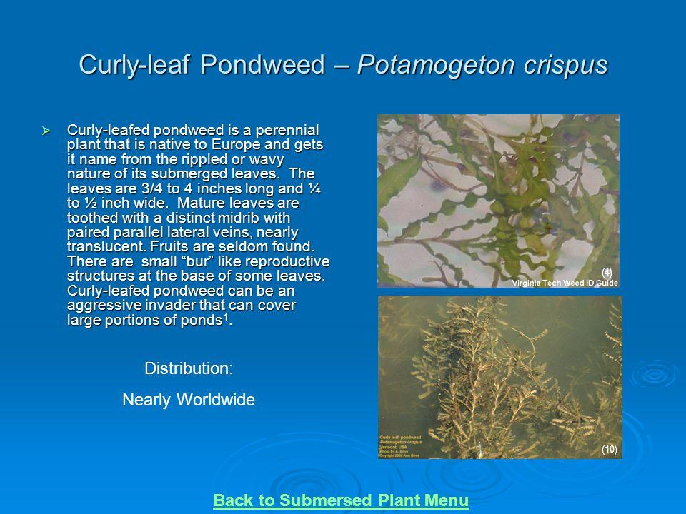 Curly-leaf Pondweed – Potamogeton crispus