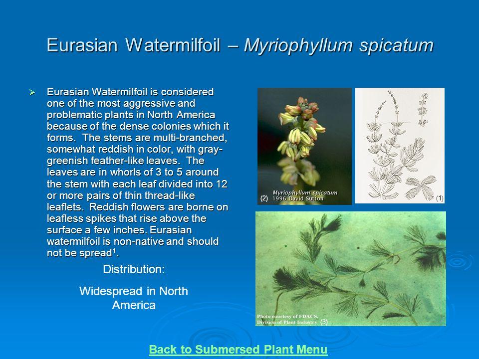 Eurasian Watermilfoil – Myriophyllum spicatum