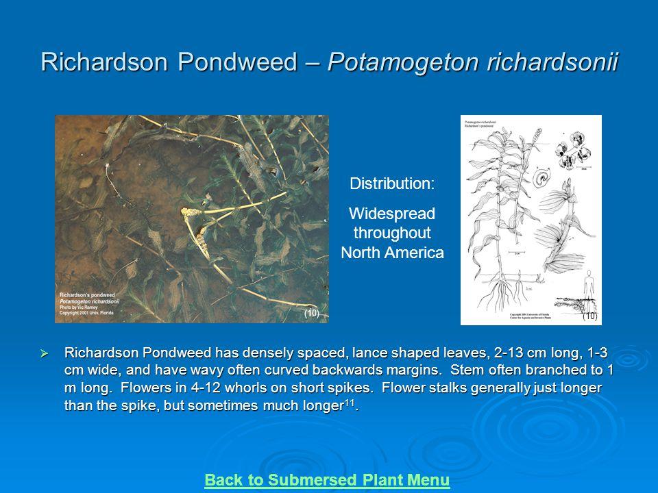 Richardson Pondweed – Potamogeton richardsonii