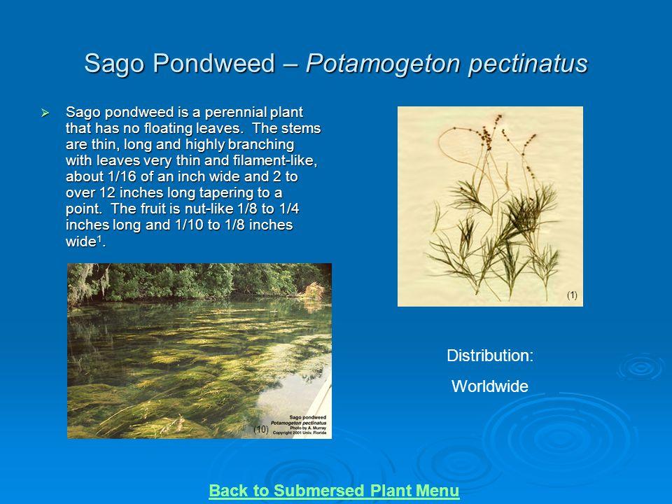 Sago Pondweed – Potamogeton pectinatus